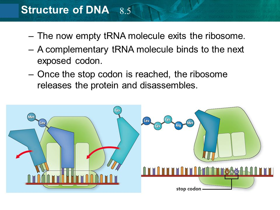 8.5 The now empty tRNA molecule exits the ribosome. A complementary tRNA molecule binds to the next exposed codon.