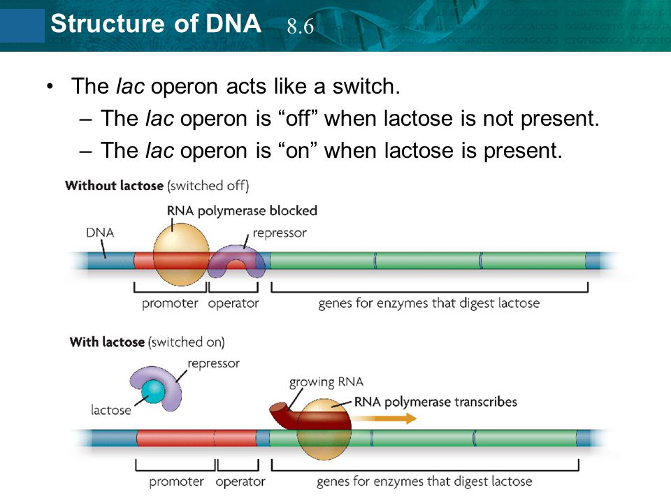 8.6 The lac operon acts like a switch. The lac operon is off when lactose is not present.