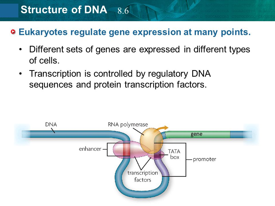 Eukaryotes regulate gene expression at many points.
