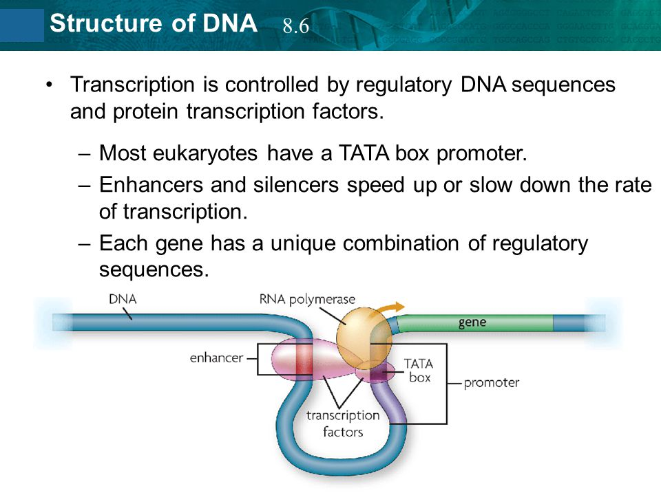 8.6 Transcription is controlled by regulatory DNA sequences and protein transcription factors. Most eukaryotes have a TATA box promoter.