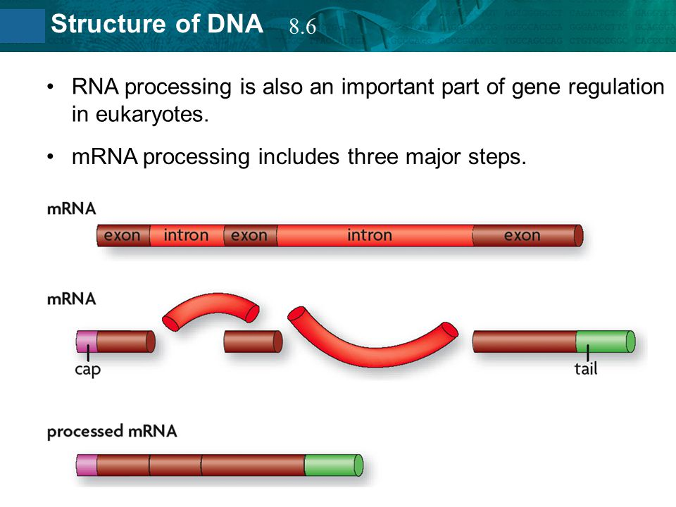 8.6 RNA processing is also an important part of gene regulation in eukaryotes.