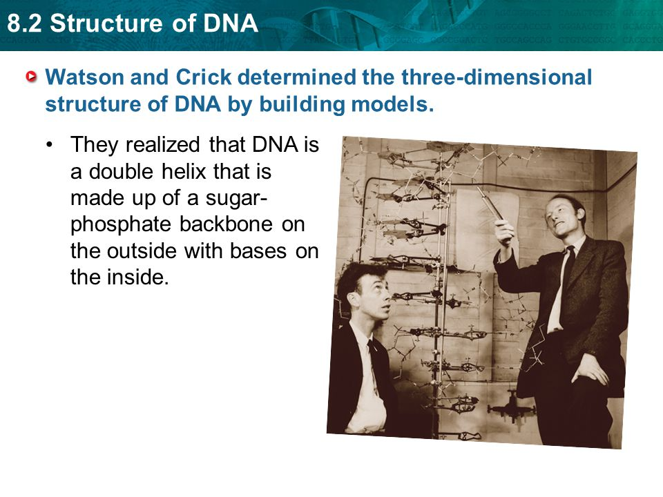 Watson and Crick determined the three-dimensional structure of DNA by building models.