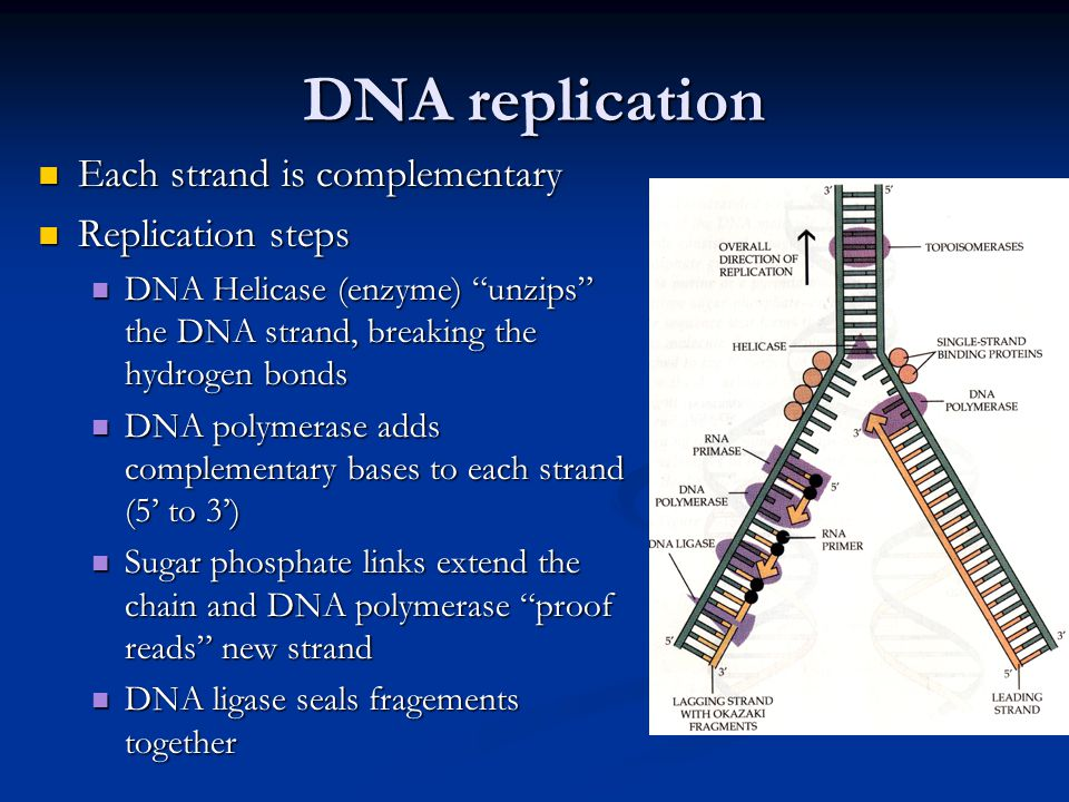 DNA replication Each strand is complementary Replication steps