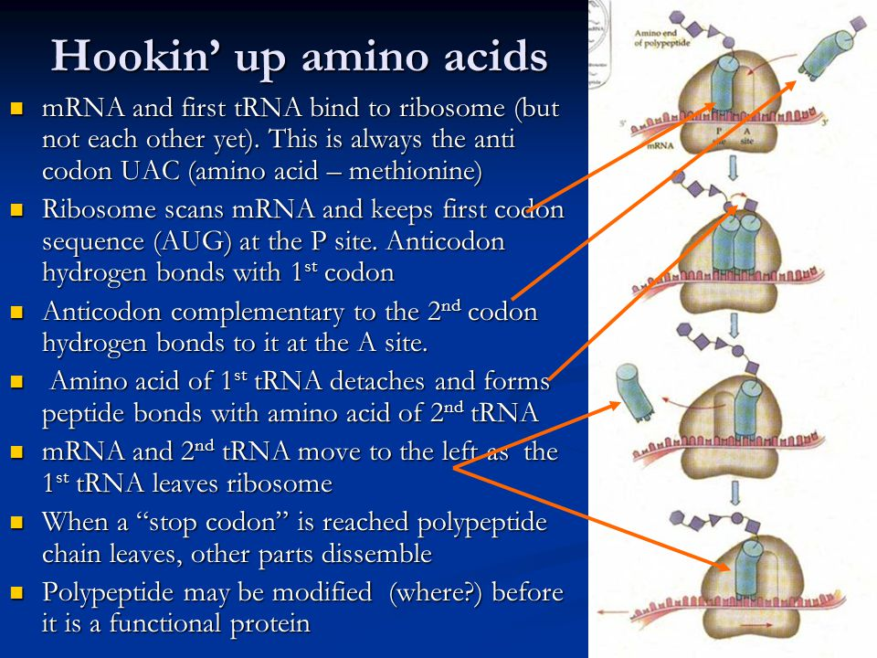 Hookin' up amino acids mRNA and first tRNA bind to ribosome (but not each other yet). This is always the anti codon UAC (amino acid – methionine)