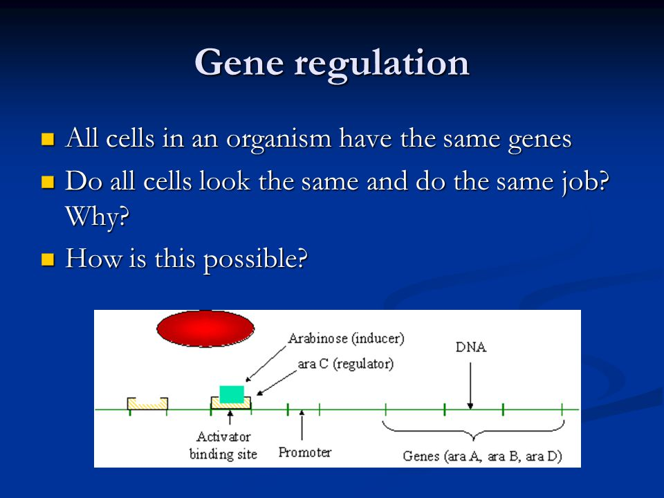Gene regulation All cells in an organism have the same genes