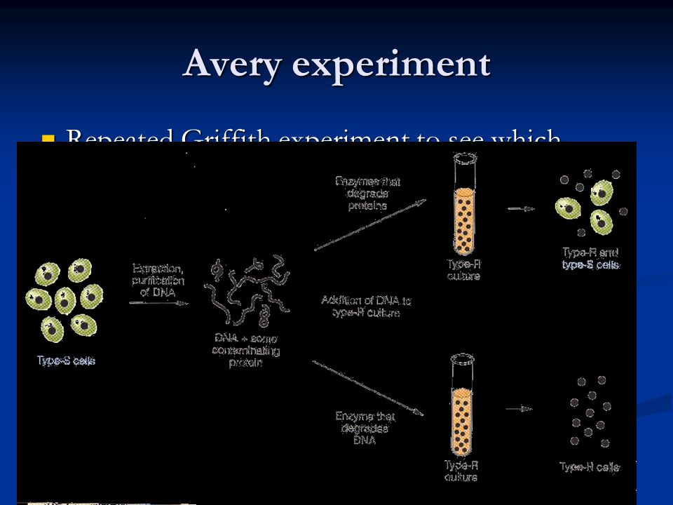 Avery experiment Repeated Griffith experiment to see which molecule actually transformed into the harmless strain.