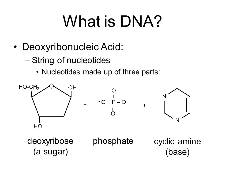 What is DNA Deoxyribonucleic Acid: String of nucleotides deoxyribose