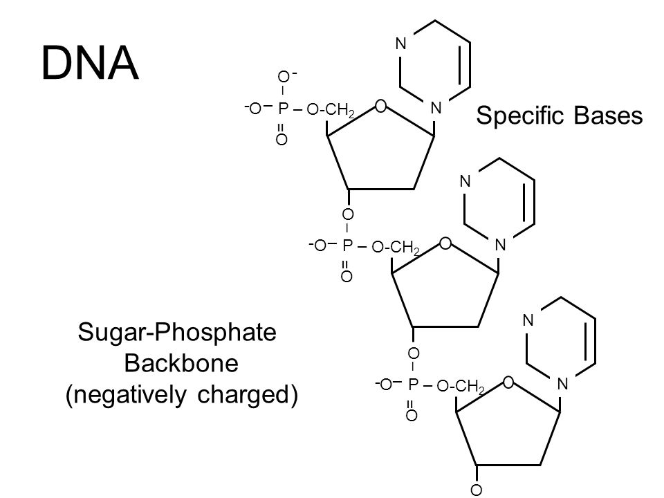 DNA Specific Bases Sugar-Phosphate Backbone (negatively charged) N - O