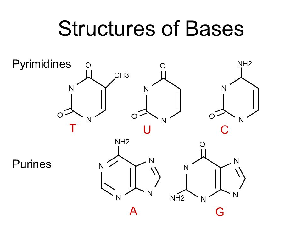 Structures of Bases Pyrimidines T U C Purines A G O NH2 O CH3 N N N O