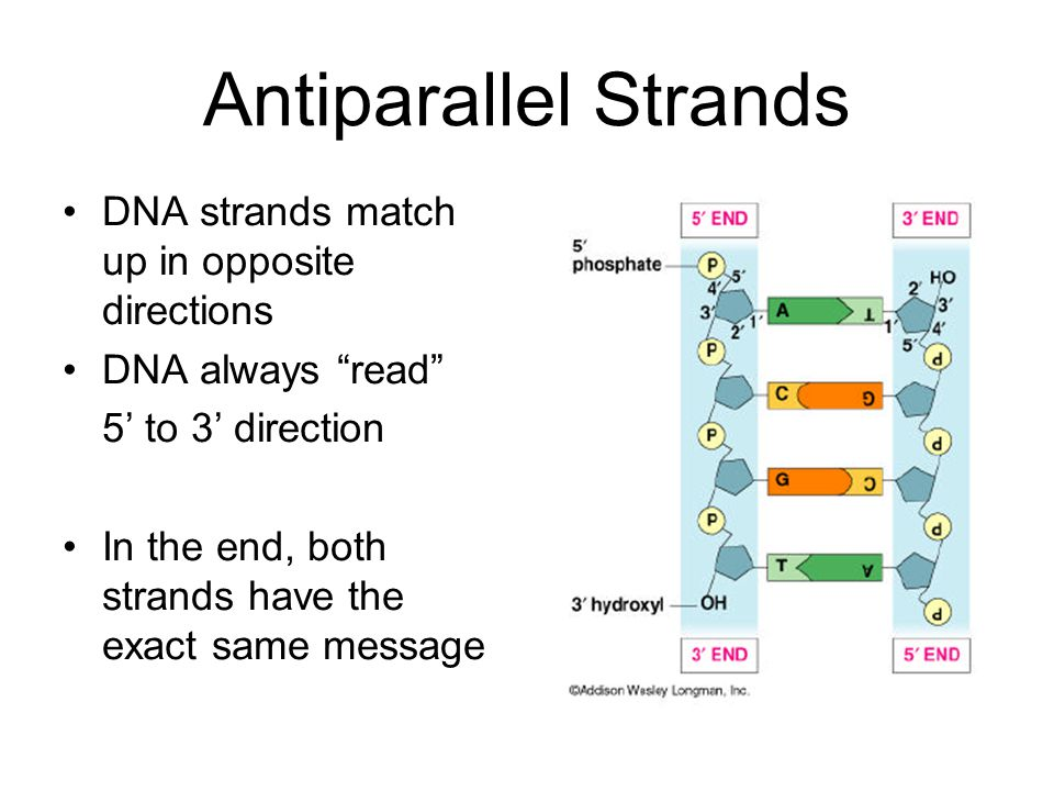 Antiparallel Strands DNA strands match up in opposite directions