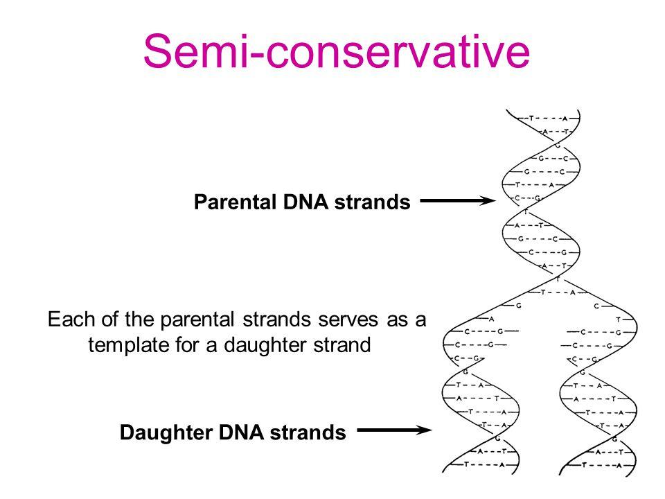 Semi-conservative Parental DNA strands