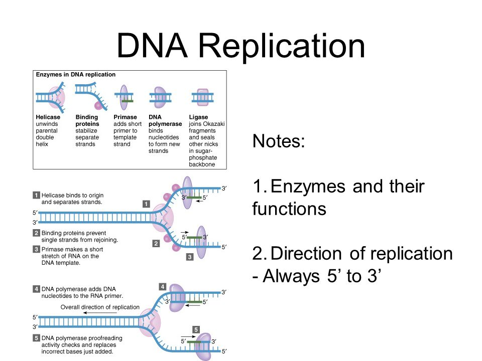 the structure function of dna Dna and rna are different from their structure, functions and stabilities dna has four nitrogen bases adenine, thymine, cytosine, and guanine and for rna instead of.