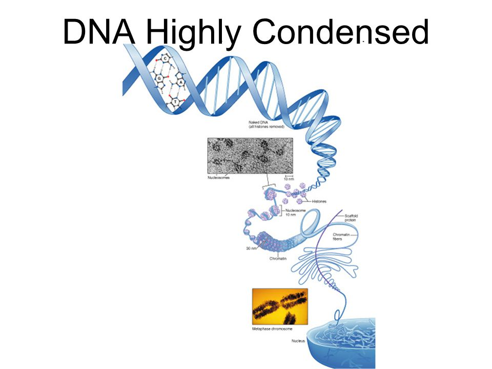 DNA Highly Condensed