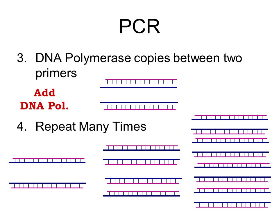 PCR 3. DNA Polymerase copies between two primers 4. Repeat Many Times