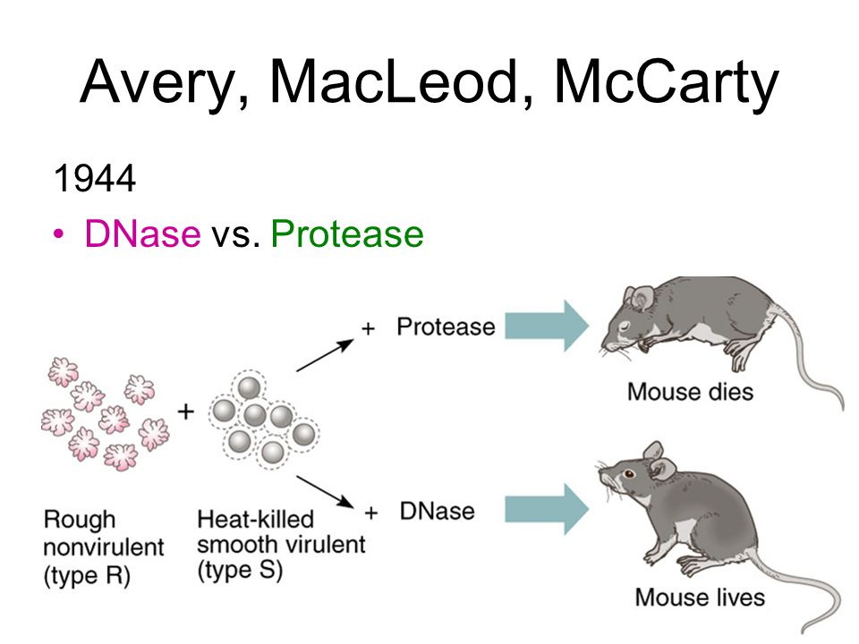 Avery, MacLeod, McCarty 1944 DNase vs. Protease