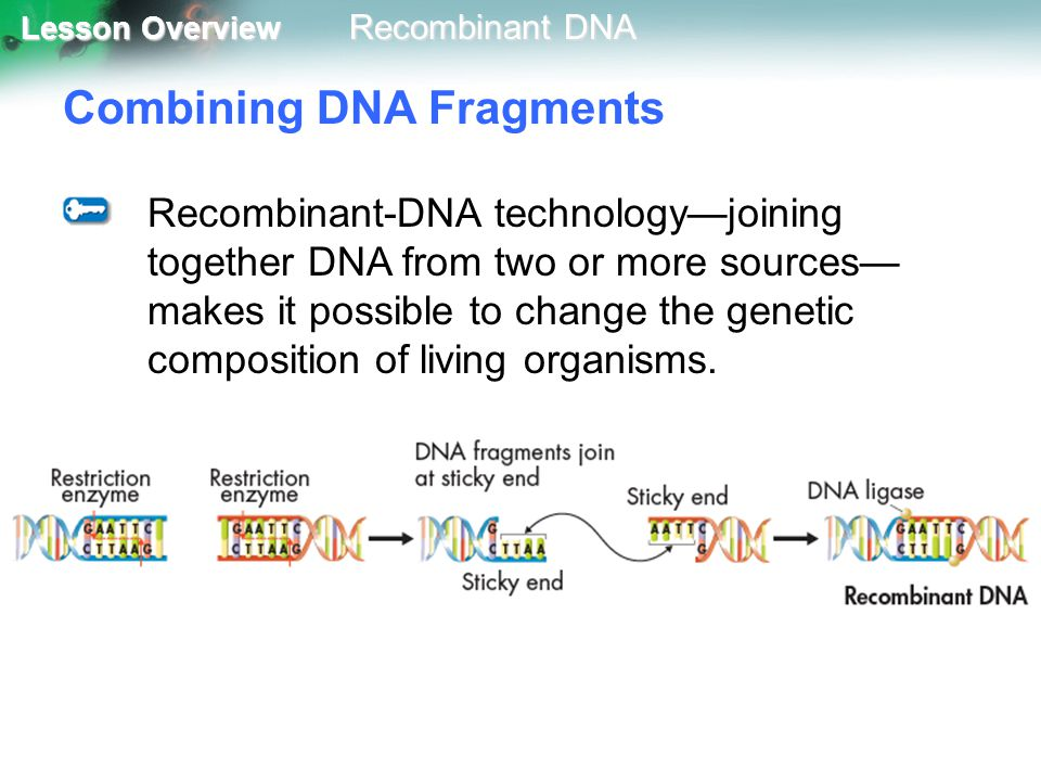 Combining DNA Fragments
