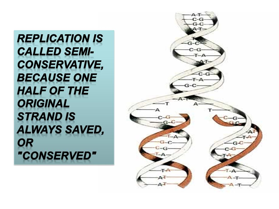 Replication is called semi-conservative, because one half of the original strand is always saved, or conserved