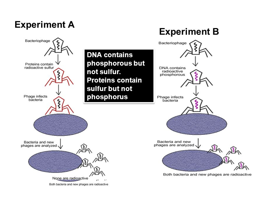 Experiment A Experiment B DNA contains phosphorous but not sulfur.