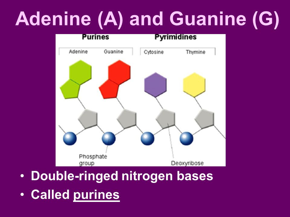Adenine (A) and Guanine (G)