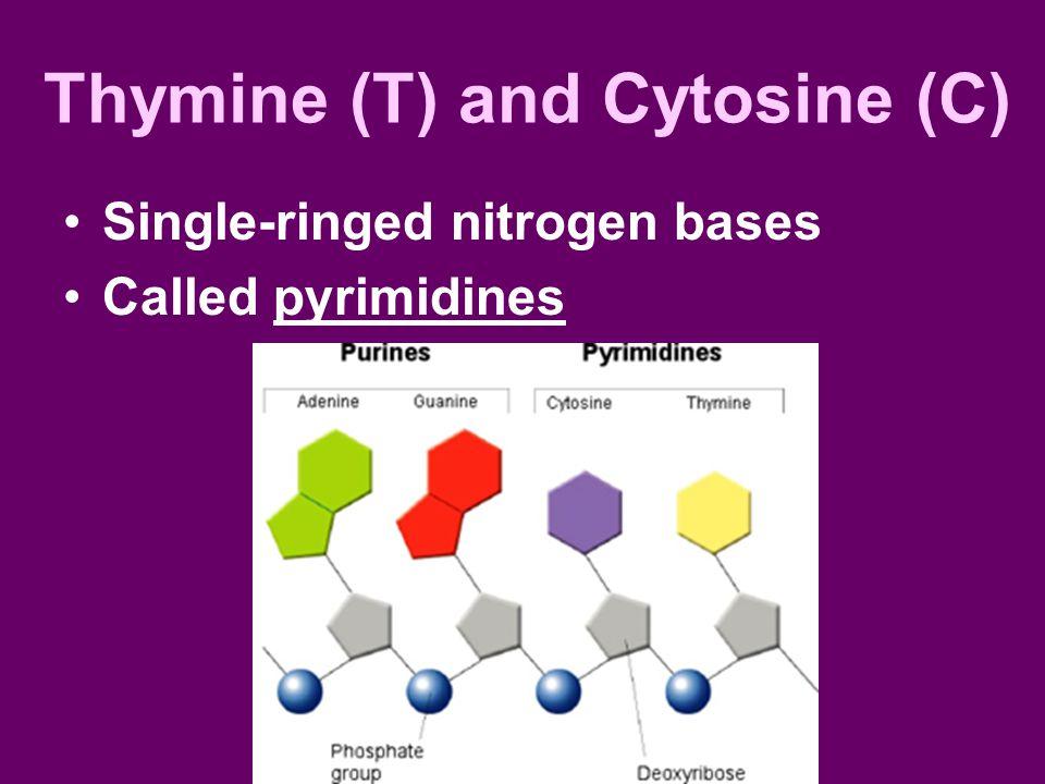 Thymine (T) and Cytosine (C)