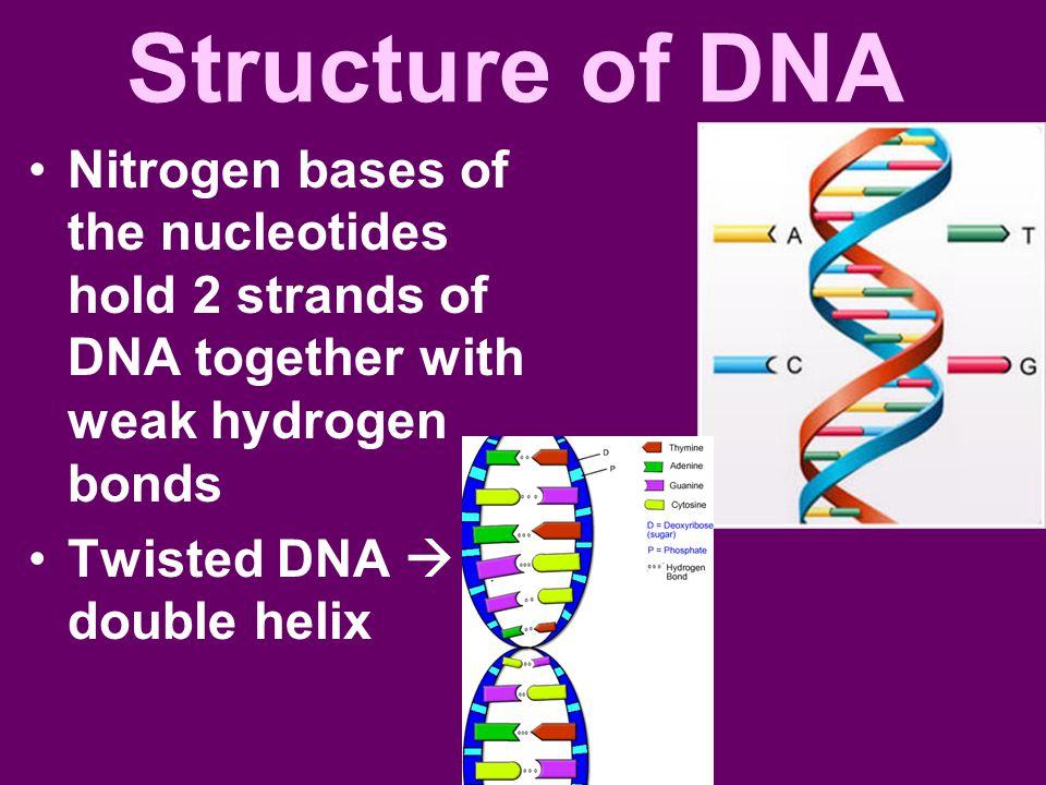 Structure of DNA Nitrogen bases of the nucleotides hold 2 strands of DNA together with weak hydrogen bonds.