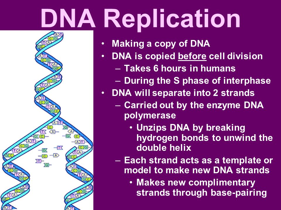 DNA Replication Making a copy of DNA