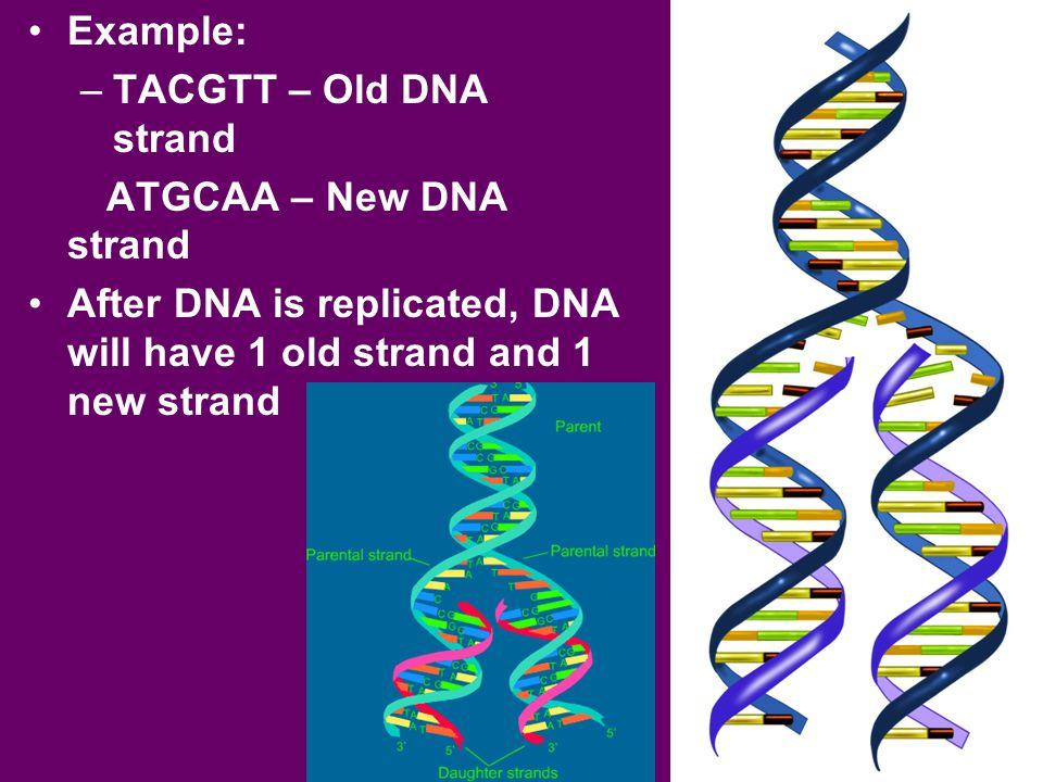 Example: TACGTT – Old DNA strand. ATGCAA – New DNA strand.