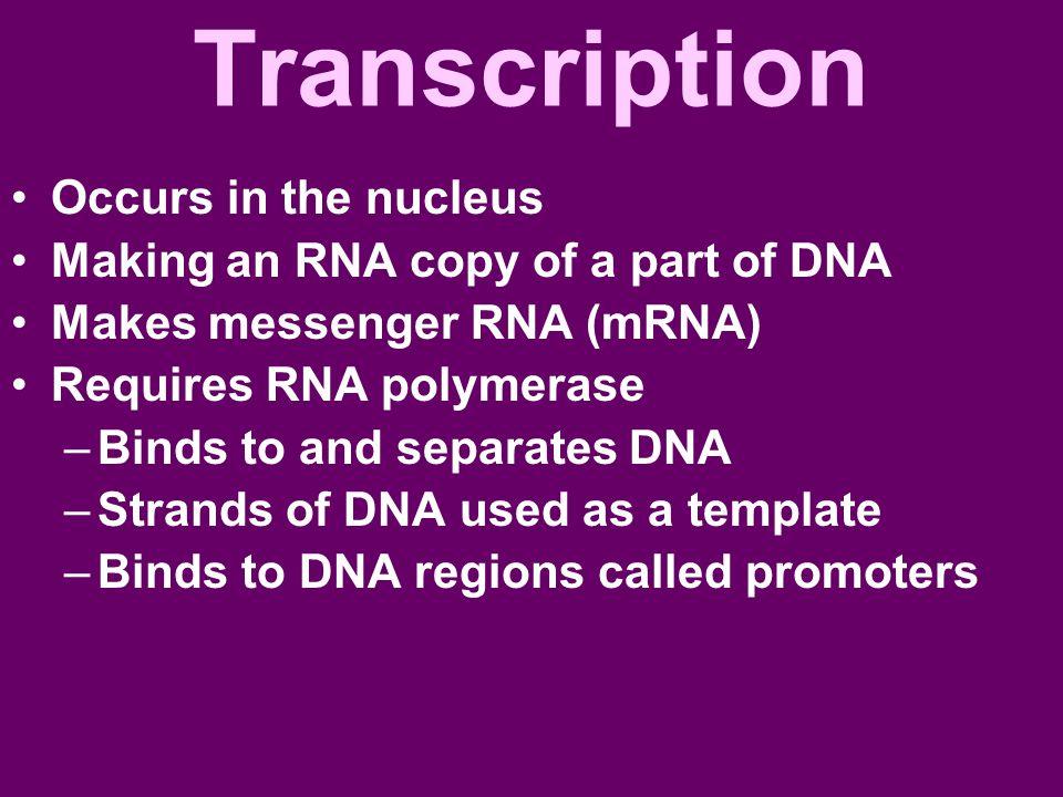 Transcription Occurs in the nucleus