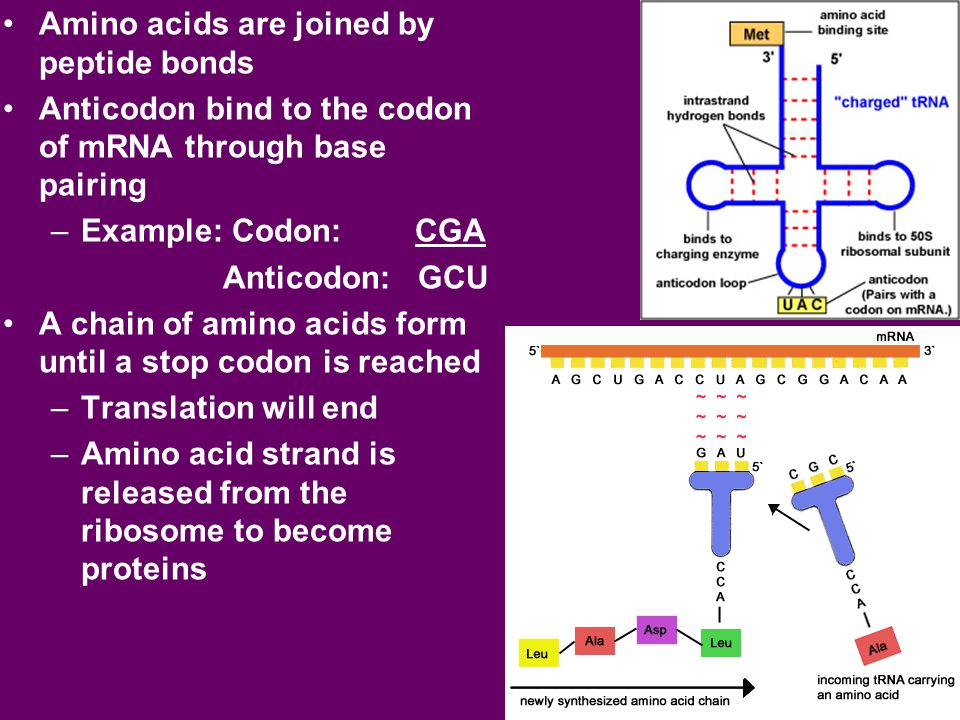 Amino acids are joined by peptide bonds