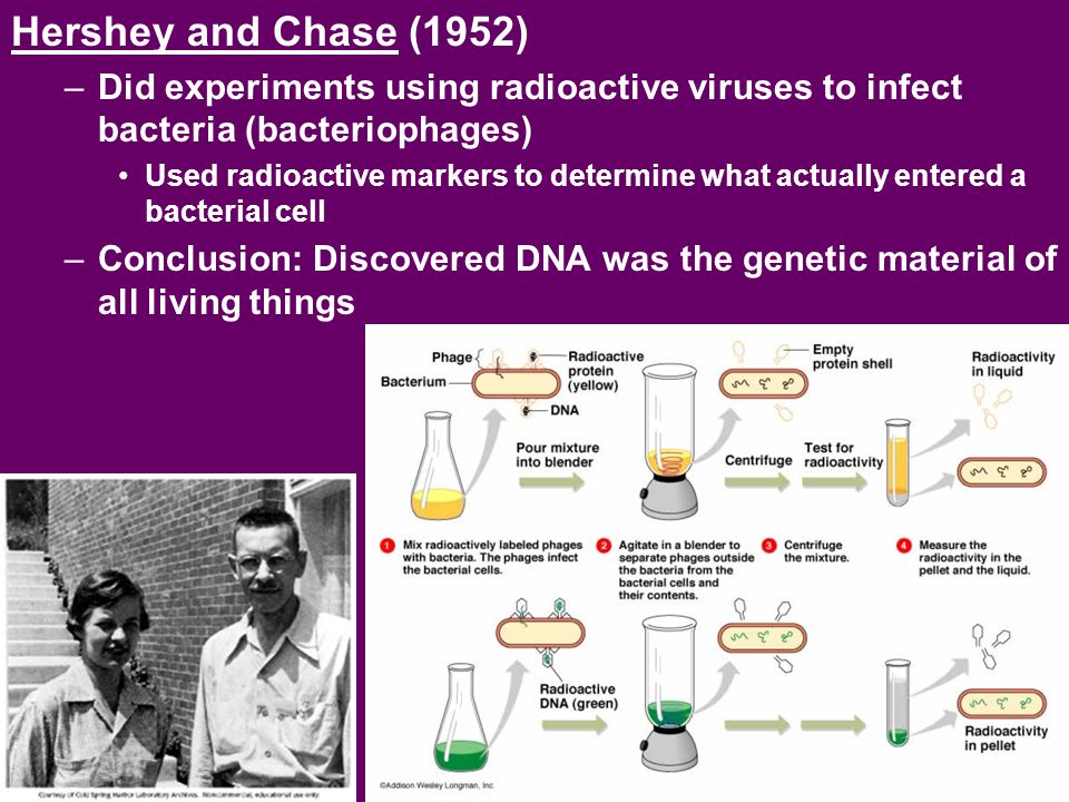 Hershey and Chase (1952) Did experiments using radioactive viruses to infect bacteria (bacteriophages)