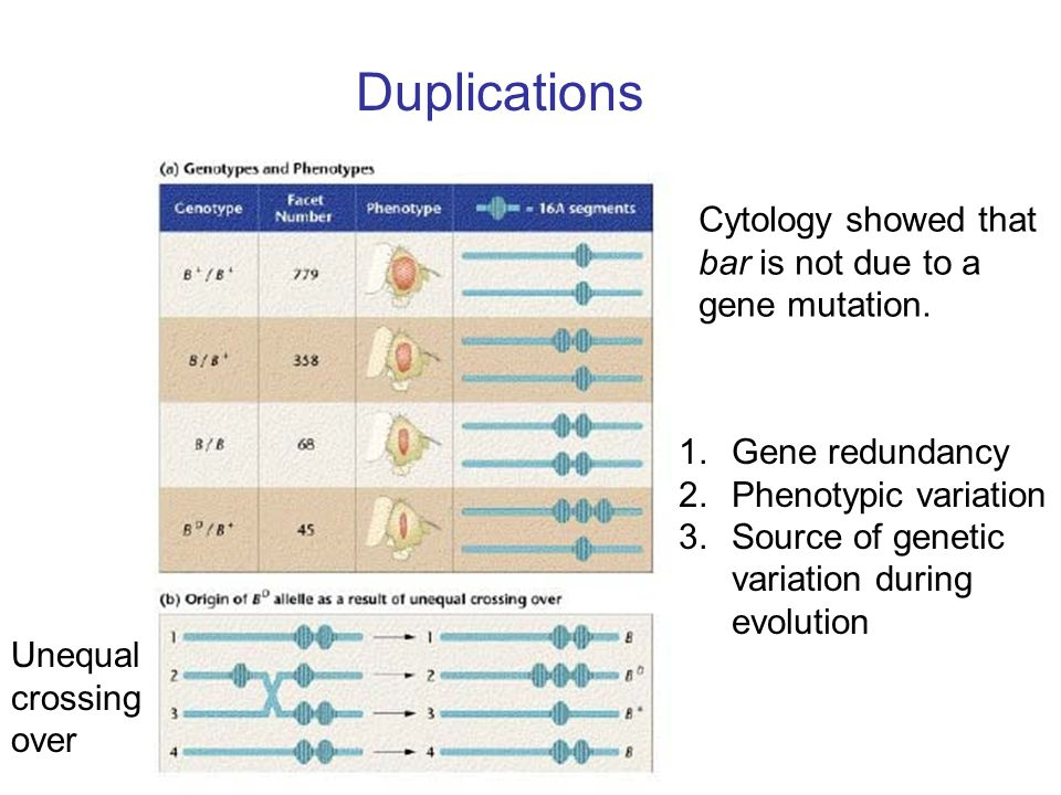 Duplications Cytology showed that bar is not due to a gene mutation.