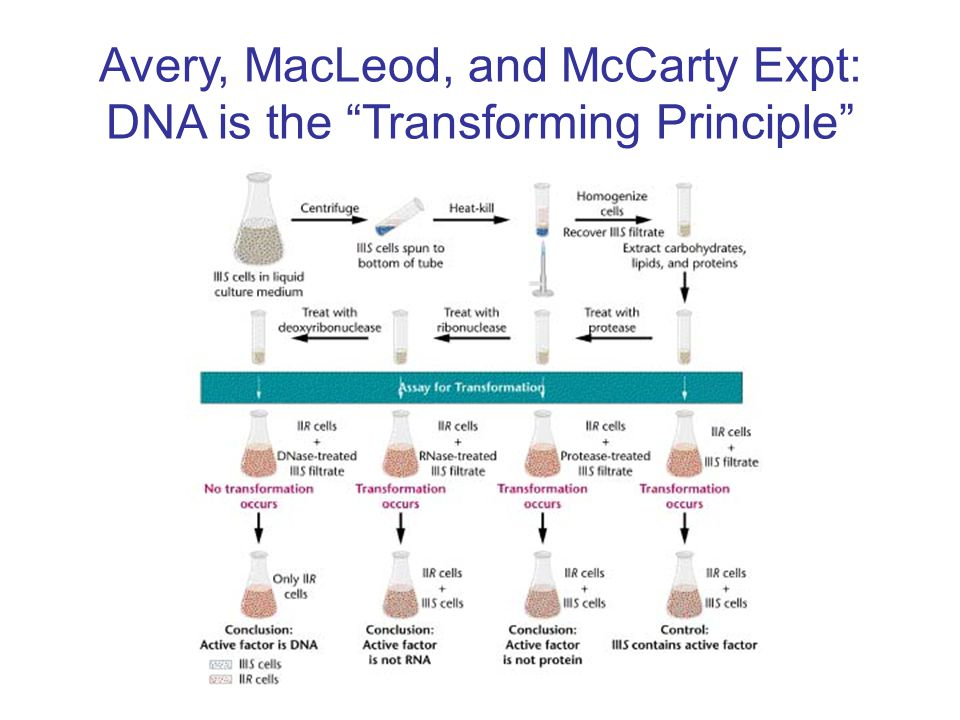 Avery, MacLeod, and McCarty Expt: DNA is the Transforming Principle