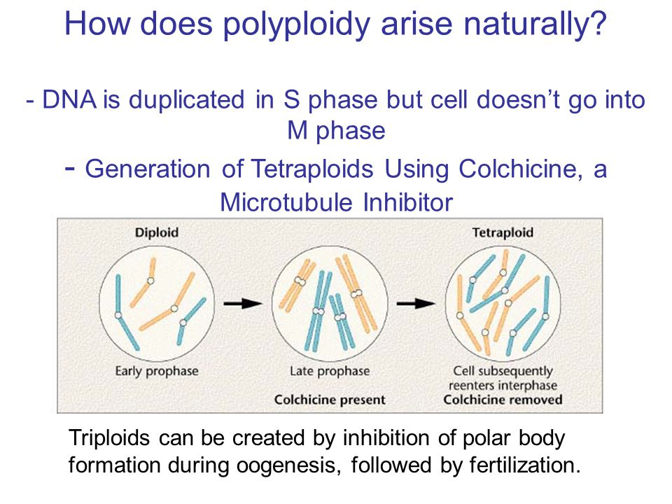 How does polyploidy arise naturally