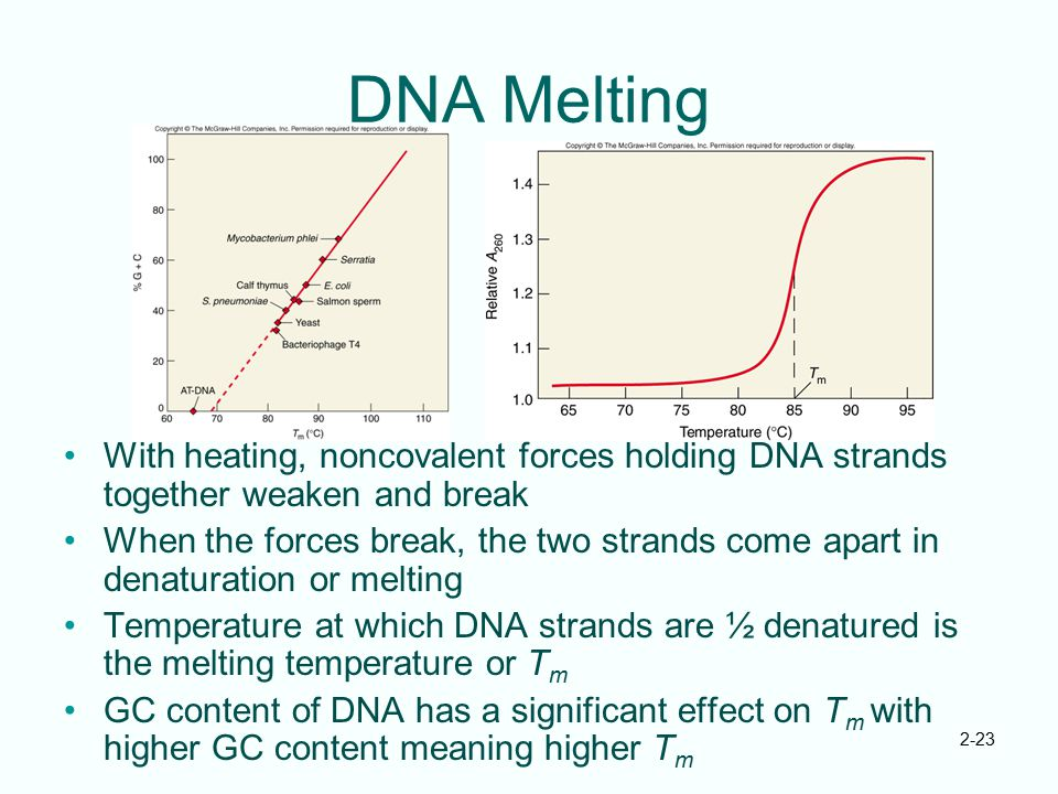 DNA Melting With heating, noncovalent forces holding DNA strands together weaken and break.