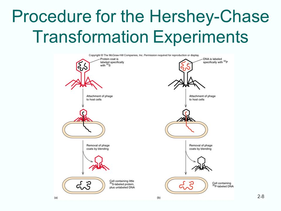 Procedure for the Hershey-Chase Transformation Experiments