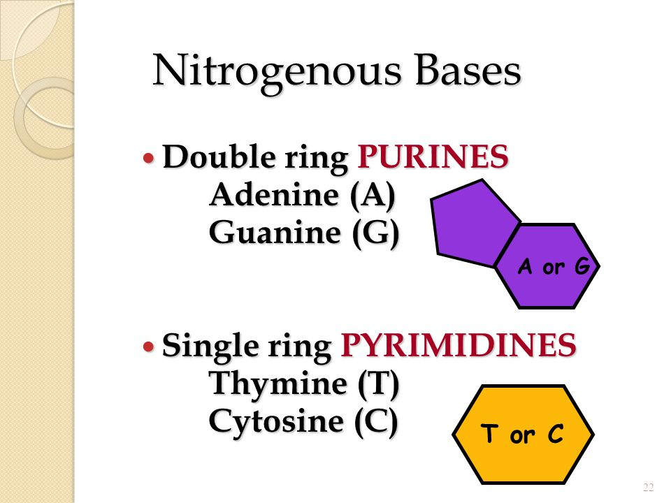 Nitrogenous Bases Double ring PURINES Adenine (A) Guanine (G)