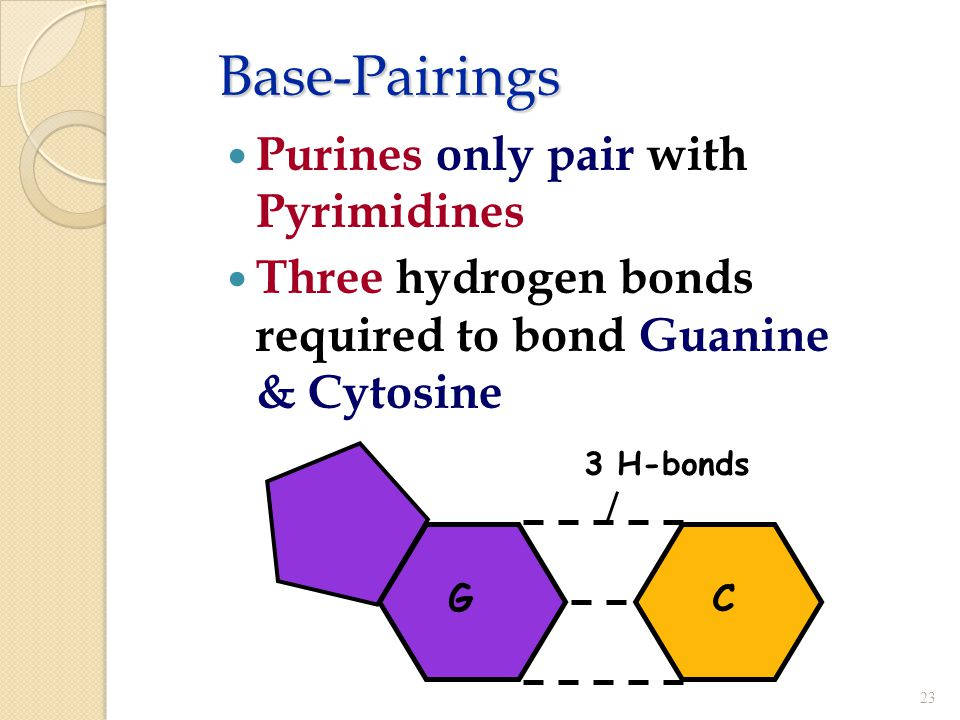 Base-Pairings Purines only pair with Pyrimidines