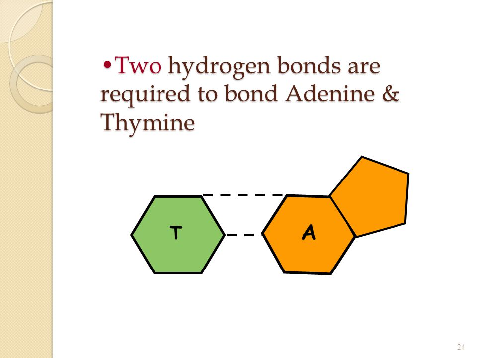 Two hydrogen bonds are required to bond Adenine & Thymine