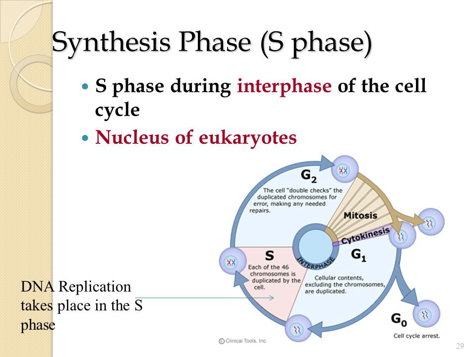 Synthesis Phase (S phase)