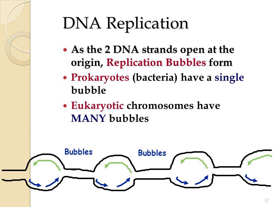 DNA Replication As the 2 DNA strands open at the origin, Replication Bubbles form. Prokaryotes (bacteria) have a single bubble.