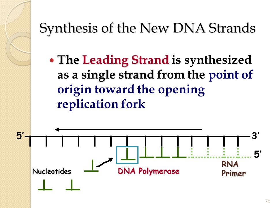 Synthesis of the New DNA Strands