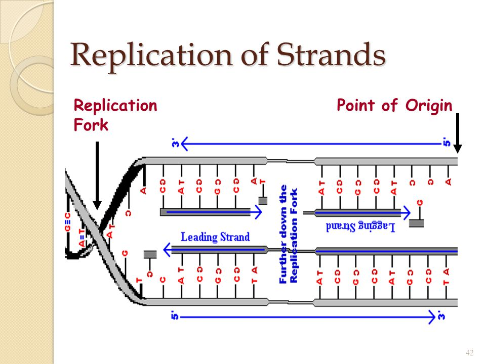 Replication of Strands