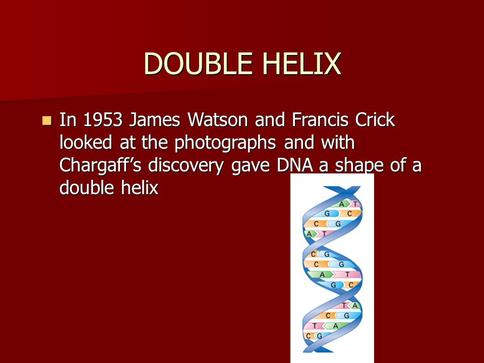 DOUBLE HELIX In 1953 James Watson and Francis Crick looked at the photographs and with Chargaff's discovery gave DNA a shape of a double helix.