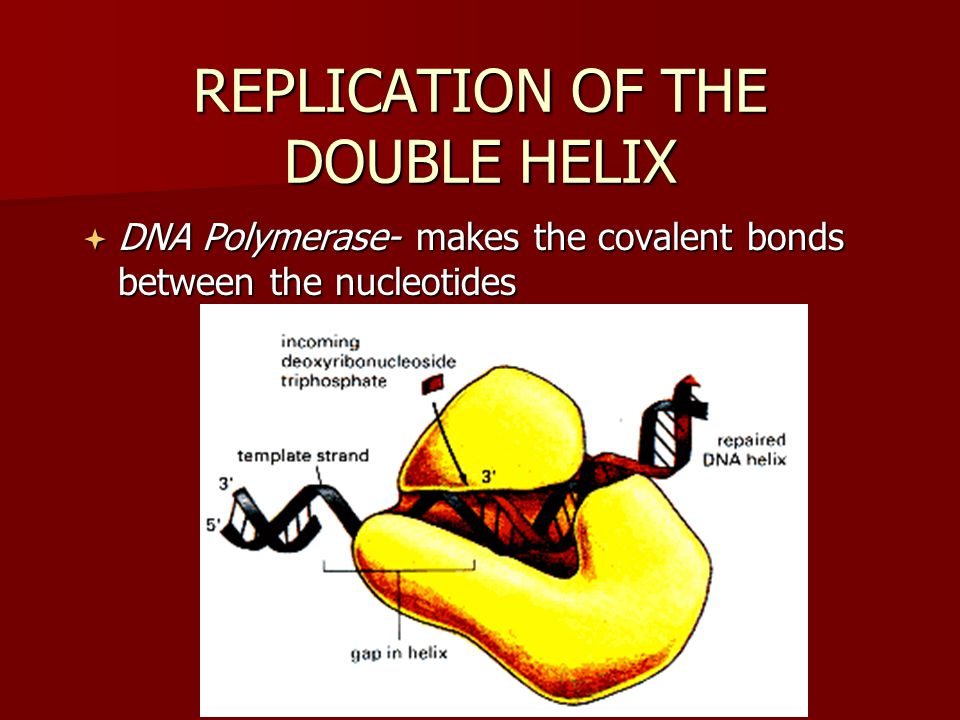 REPLICATION OF THE DOUBLE HELIX
