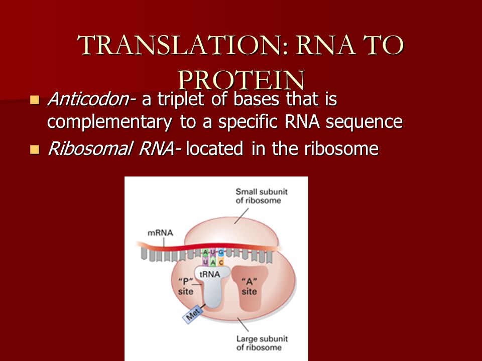 TRANSLATION: RNA TO PROTEIN