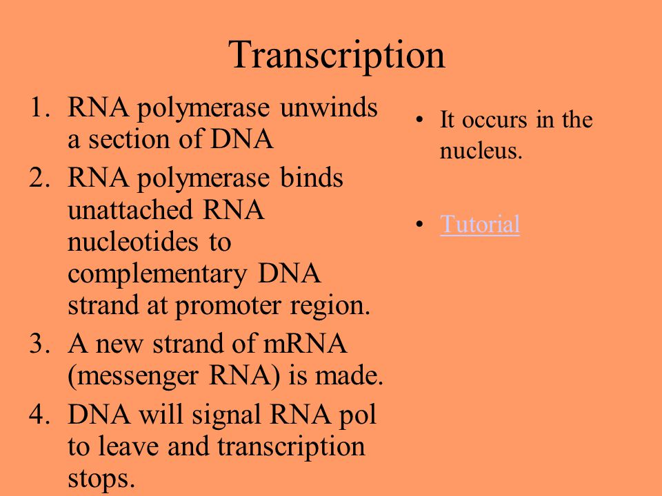 Transcription RNA polymerase unwinds a section of DNA