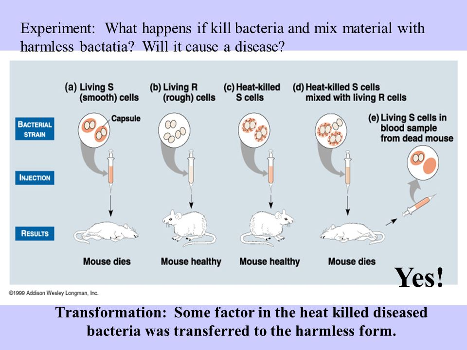 Experiment: What happens if kill bacteria and mix material with harmless bactatia Will it cause a disease