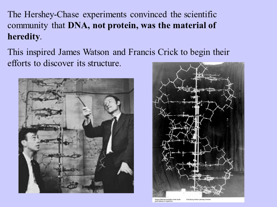 The Hershey-Chase experiments convinced the scientific community that DNA, not protein, was the material of heredity.