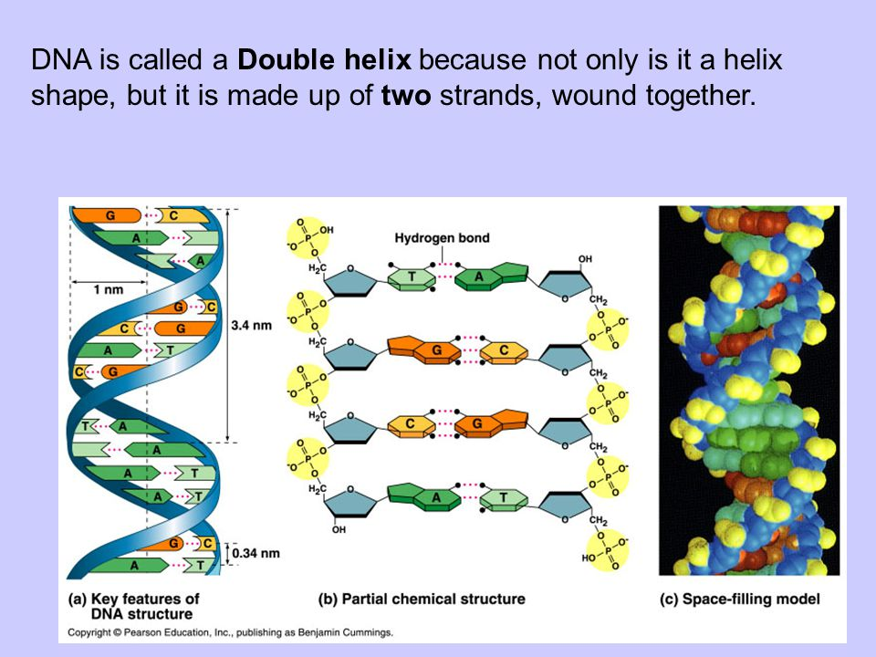 DNA is called a Double helix because not only is it a helix shape, but it is made up of two strands, wound together.