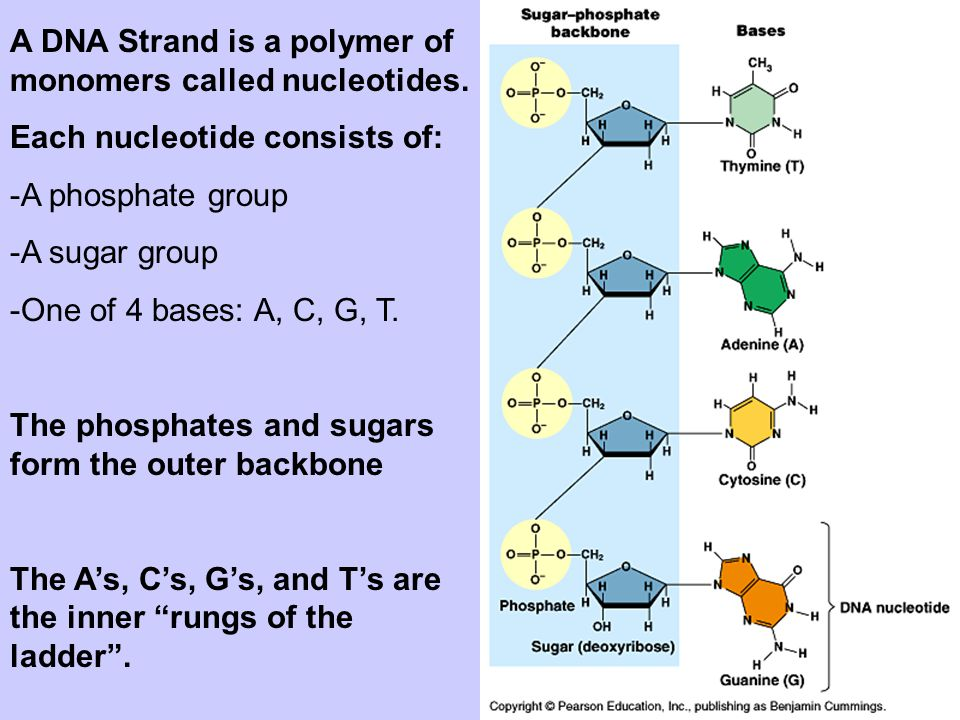 A DNA Strand is a polymer of monomers called nucleotides.